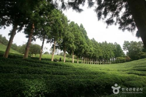 宝城绿茶园-大韩茶园