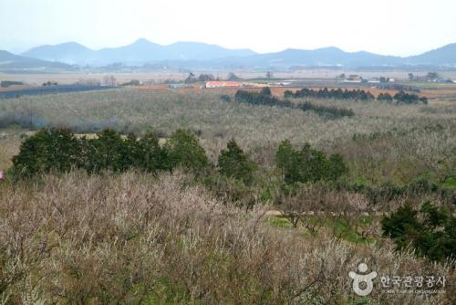 BoHae梅子农园
